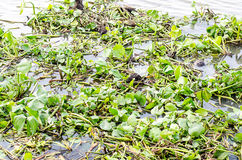 Toxins in the river / Green water hyacinth in the river Royalty Free Stock Photos