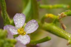 Toxique rose de Daphne photo libre de droits