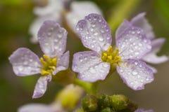 Toxique rose de Daphne Image stock