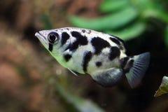 Toxotes Jaculator Крупный план Archerfish в воде Стоковая Фотография RF