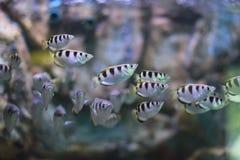 Toxotidae fotografia stock libera da diritti