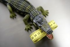 Toy aligator, centimeter tape measure. Toy plastic crocodrile, aligator with centimeter tape measure in its sharped theet jaws metaphorr stock images