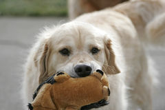 Toy Animal. A golden retriever bites her stuffed toy animal Stock Photography