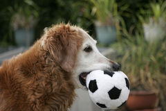 Toy Ball. A golden retriever grips his stuffed ball Royalty Free Stock Photo