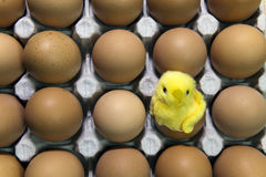 Toy chicken in shell of egg between eggs in packing Stock Photos