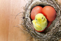 Toy chicken sits in a  nest on brightly painted Easter eggs Stock Images