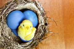Toy chicken sits in a  nest on brightly painted Easter eggs. The toy chicken sits in a  nest on brightly painted Easter eggs Royalty Free Stock Image