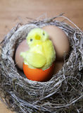 The toy chicken sits in a  nest on Easter eggs Stock Images