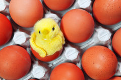 Toy chicken sits in a shell of an Easter egg among red Easter eggs Stock Photo