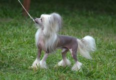 Toy Chinese Crested Dog On a Leash. Small Chinese crested dog on a thin white leash royalty free stock images