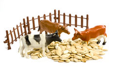 Toy cows and seeds. Three toy cows standing near the fence in pumpkin seeds isolated on white background Royalty Free Stock Photo