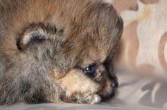 Toy Dog, Charles Puppy, Fotografia Stock Libera da Diritti