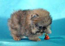 Toy Dog, Charles Puppy, immagine stock libera da diritti