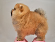 Toy  Dog, Charles Puppy, Pomeranian Spitz German miniature , Royalty Free Stock Photos