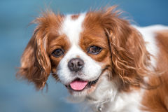 Toy dog. Little dog Cavalier King Charles Spaniel Royalty Free Stock Photography