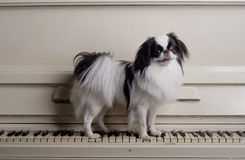 Toy dog on piano. Cute toy dog stood on keyboard on white piano Stock Photo
