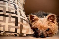 Toy dog. Relaxing or hiding behind a pillow royalty free stock image