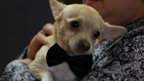 Toy Dog On A Wedding stock footage