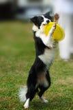 toy för holding för hund för kantcollie royaltyfria foton