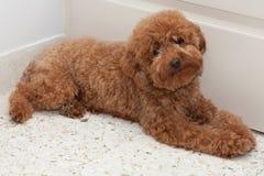 toy för poodle för 2 uttryck SAD royaltyfria bilder