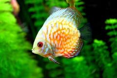 Toy fish. Against algae aquarium fishclear water stock image