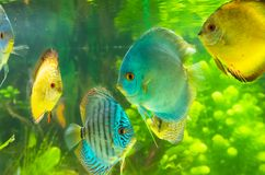 Toy fish. Beautiful colored fish close-up on the background of their fellow Stock Image