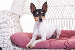 Toy Fox Terrier Royaltyfria Foton