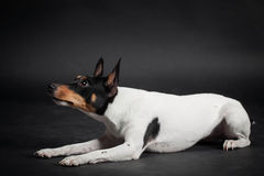 Toy Fox Terrier Royaltyfri Fotografi