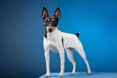 Toy Fox Terrier Arkivbild