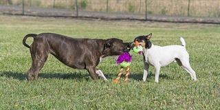 Two Dogs Playing Tug of War in a Pasture stock photography