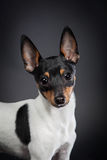 Toy fox terrier Stock Images