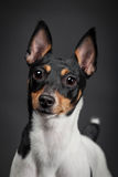 Toy fox terrier Stock Photo