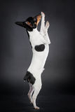 Toy fox terrier on black Stock Images