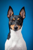 Toy fox terrier Royalty Free Stock Image