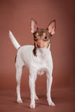 Toy fox terrier on brown Royalty Free Stock Photography
