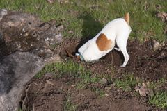 Toy Fox Terrier Digging para los Gopher con principal enterrado imágenes de archivo libres de regalías