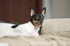 Toy Fox Terrier i studio Royaltyfria Foton
