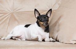 Toy Fox Terrier i studio Arkivfoton
