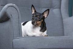 Toy Fox Terrier i studio Arkivfoto