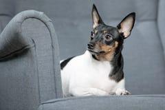 Toy Fox Terrier i studio Fotografering för Bildbyråer