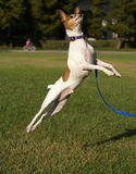 Toy Fox Terrier Jumping Stock Image