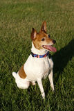 Toy Fox Terrier Sitting on Grass. A brown and white toy fox terrier sitting on grass Stock Image