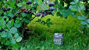 Toy house under chokeberry bush shelter stock footage