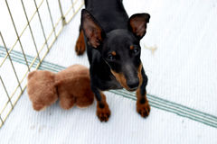 Toy Manchester Terrier. A Toy Manchester Terrier looks up from his cage at a dog show Royalty Free Stock Photography
