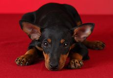 Toy manchester terrier puppy. Laying down on red background Stock Photos