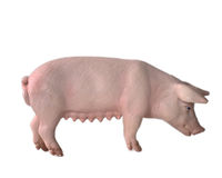 Toy Pig. Child's plastic pig toy on white background Royalty Free Stock Photography