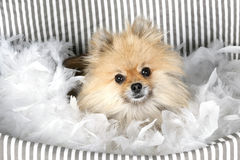 Toy pom in basket Royalty Free Stock Photos
