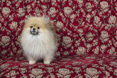 Toy pom dog on couch Stock Photo