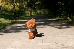 Toy poodle. It is a sweet toy poodle Stock Image