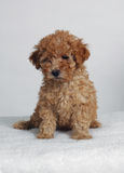 Toy Poodle. An Apricot toy poodle puppy royalty free stock photo